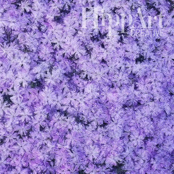 Violet Phlox